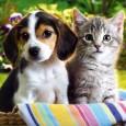 Indførsel af kæledyr til Thailand Der henvises til Department of Livestock-Developmentsvejledningfor import af hunde og katte til Thailand. Regler for indførsel af hunde og katte: Regler for indførsel af hunde […]